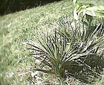 Chamaerops humilis var cerifera vulcano palmier d for Palmier d exterieur resistant au froid
