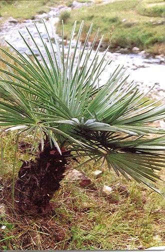 Trachycarpus fortunei wagnerianus geminisectus nanus r sistant au froid en ext rieur en belgique - Palmier resistant au froid ...