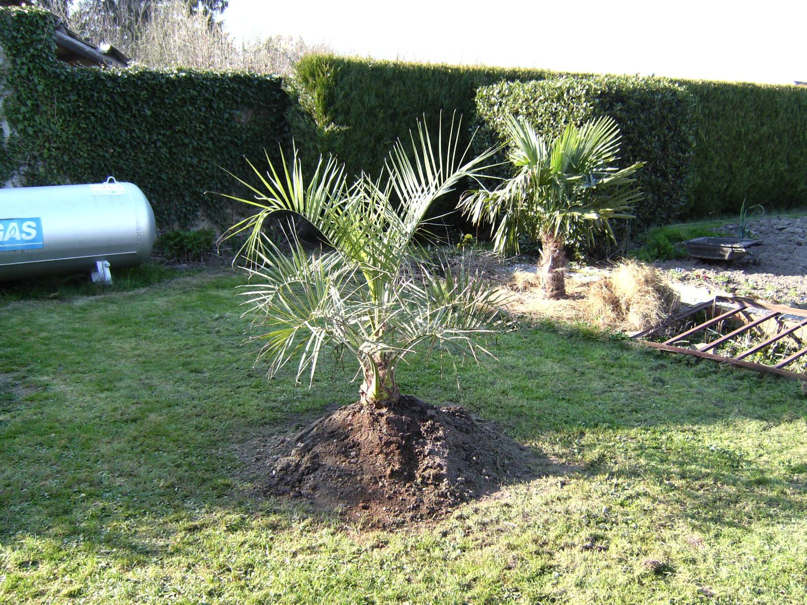 Les palmiers d 39 ext rieur d 39 int rieur plantation rempotage - Entretien d un palmier d interieur ...